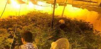 cultivo marihuana en daimuz